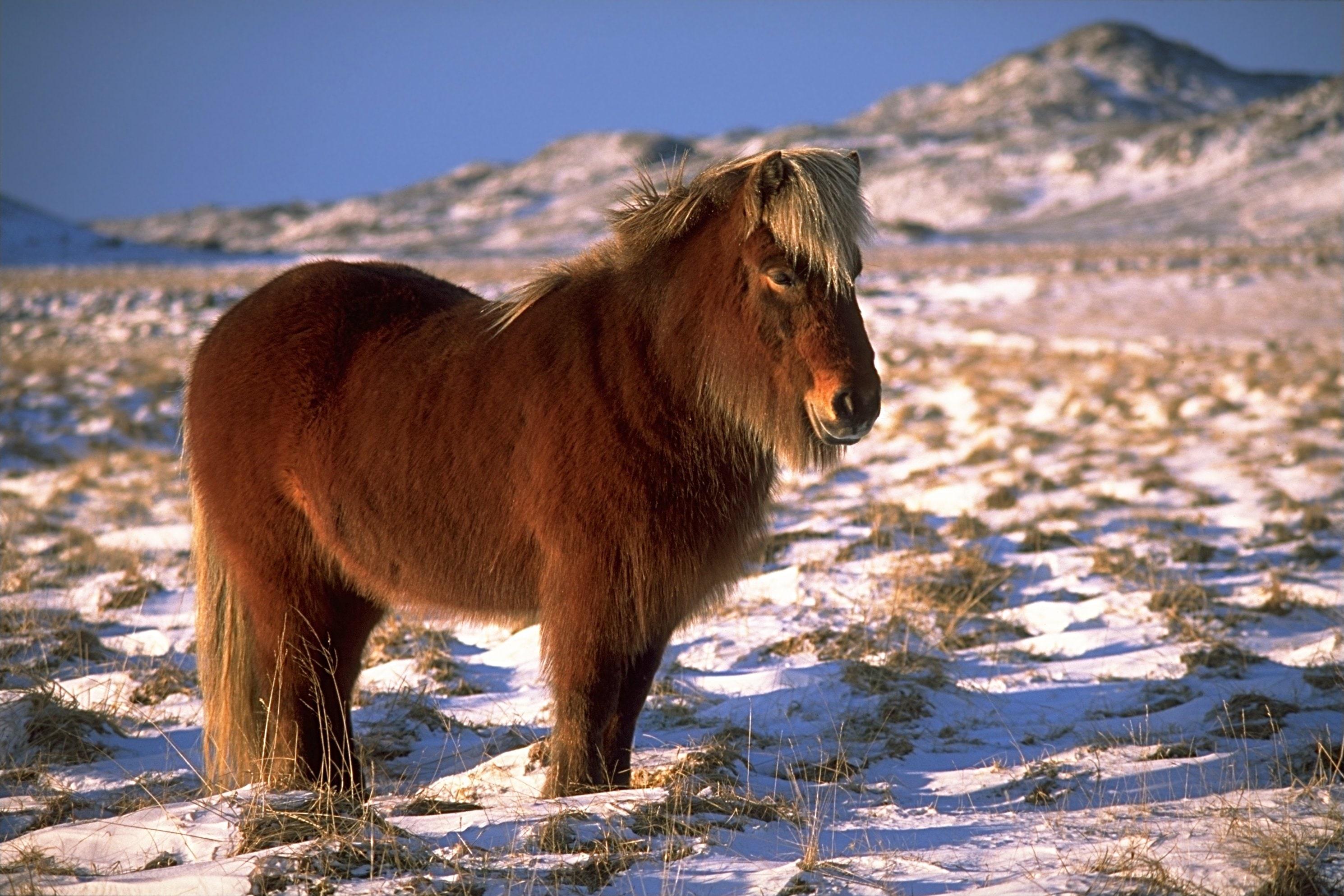 Niezwykła rasa koni w Islandii.